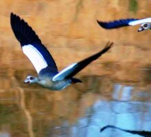 MIRROR REFLECTION OF THE EGYPTIAN GOOSE - Alopochen aegyptiacus Sticker