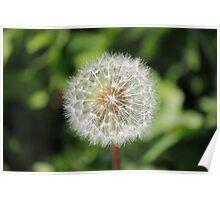 Dandelion Close-up  Poster