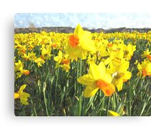 Field with yellow Daffodils in Holland Canvas Print