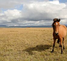Icelandic Horse by Cláudia Fernandes