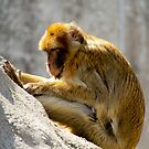 Barbary Ape by Bekah Reist