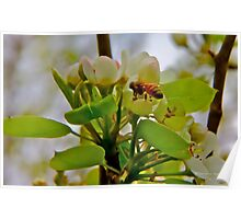 Bee On Blossom Poster