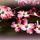 Immersed in Pink Dogwoods! by Ruth Lambert
