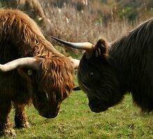 Highland Coo by cherryamber