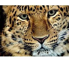 Zane ...Amur Leopard Photographic Print