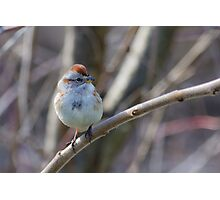 an American Tree Sparrow Photographic Print