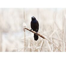 Common Grackle on a cattail reed Photographic Print