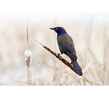 Common Grackle Photographic Print