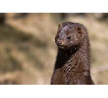 Mink Photographic Print
