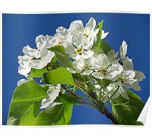 Sweet Pear Tree Blossoms Poster
