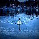 Mystic mute swan by Arve Bettum