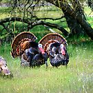 Male Turkeys by Diego  Re