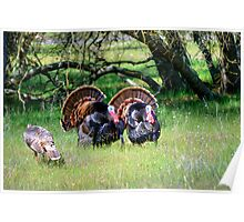 Male Turkeys Poster
