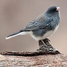 Dark-Eyed Junco by barnsis