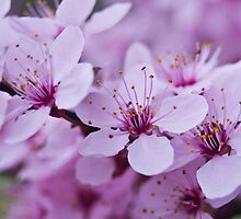 Spring Blossoms by Tom Gotzy