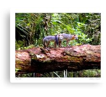 """Fox Tails"" Gray Fox in Micanopy, Florida Canvas Print"