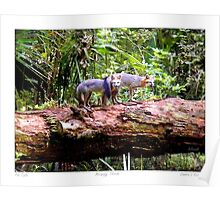 """Fox Tails"" Gray Fox in Micanopy, Florida Poster"
