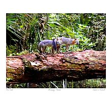"""Fox Tails"" Gray Fox in Micanopy, Florida Photographic Print"