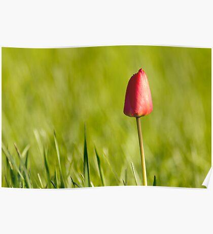 Lone Tulip Poster