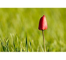 Lone Tulip Photographic Print
