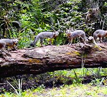 Four On A Tree / Florida Gray Foxes by Sandra Russell