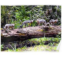 Four On A Tree / Florida Gray Foxes Poster