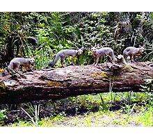 Four On A Tree / Florida Gray Foxes Photographic Print