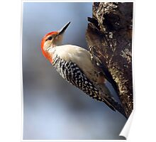 Red Belly Wood Pecker Poster