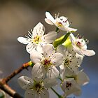 Pear Tree Spring Blossoms  by Jerry Philpot