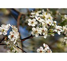 Flowering Pear Tree  Photographic Print