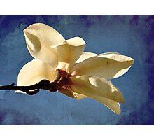 Magnolia bloom - Van Dusen Botanical Garden, Vancouver BC Photographic Print