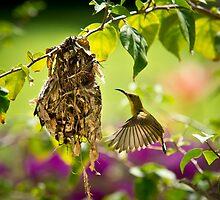 Nesting Sunbird by Dean Mullin