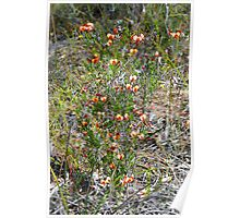 Mallee Forest and Wild Flowers Poster