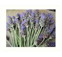 Lavender Stalks Art Print