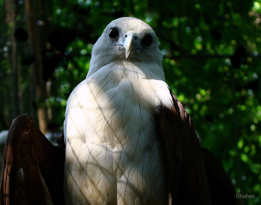 Philippine Eagle by Bhabes