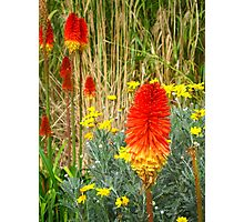 Red Hot Poker: 02 Photographic Print