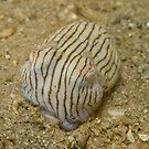 Striped Pyjama Squid - Sepioloidea lineolata by Andrew Trevor-Jones
