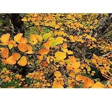 FAGUS UPDATE from Crater Lake Photographic Print