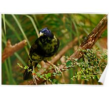 Bowerbird #2 Poster