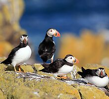 Puffins by Photo Scotland