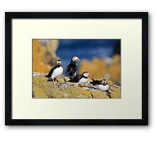 Puffins Framed Print