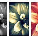 Dahlia - Triptych by Kitsmumma