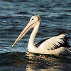 Seven Mile Pelican by Daniel Rankmore