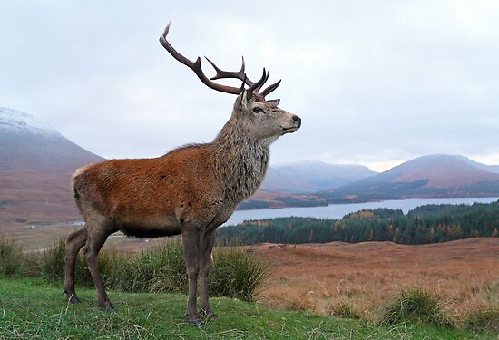 Deer Stag by Photo Scotland