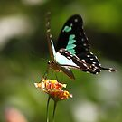 Green-Patch swallowtail by Karue