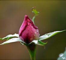 Beautiful Budding Rose by Alison Hill