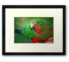 Young King Parrot Framed Print