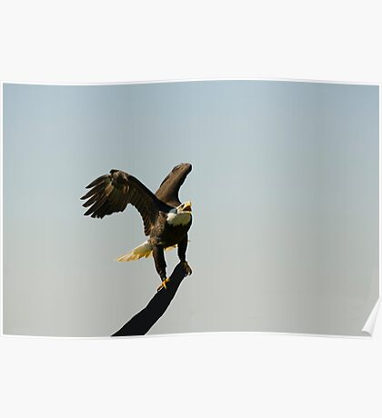 Eagle crowing Poster