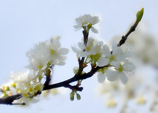 Soft Blossom by lynn carter