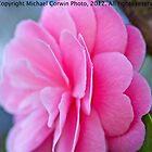 Camellia Filoli Gardens by Michael  Corwin